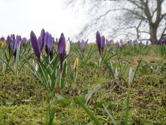Crocuses in Den Bosch